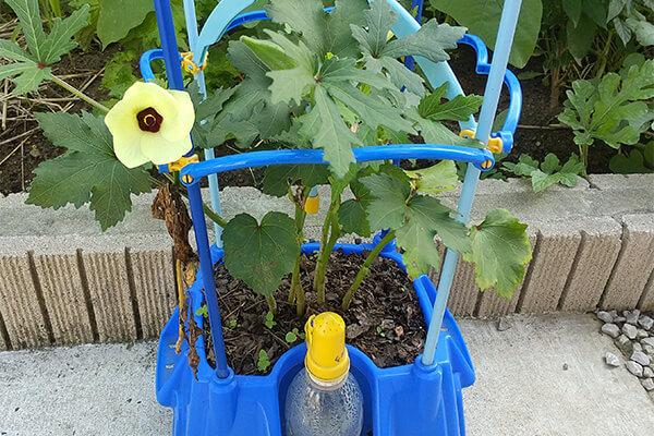 2年生の植物観察は「野菜」。長男はオクラを育てました。