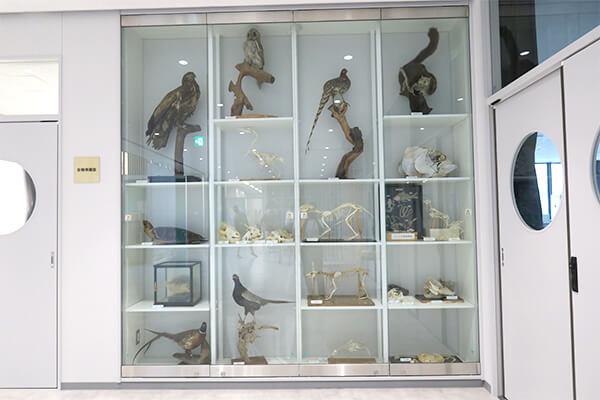 生物実験室横の展示。はく製や骨格標本などが並ぶ。 中には生徒が作成したものも。